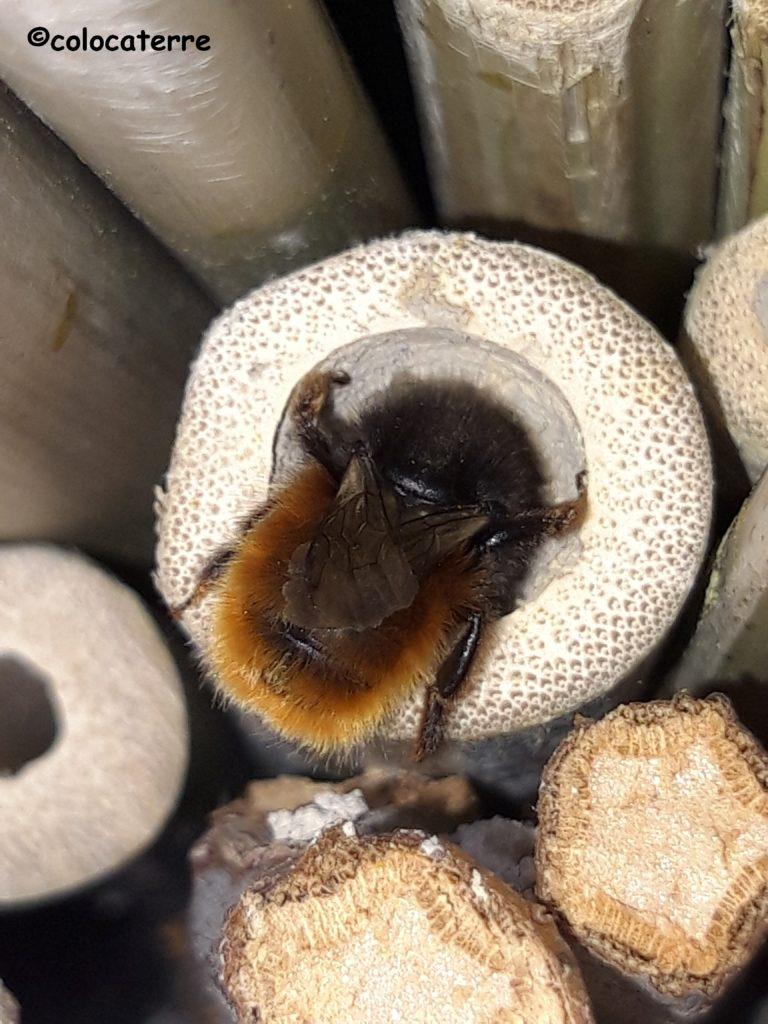 osmie cornue, abeille solitaire